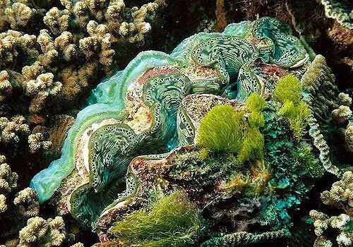 หอยมือเสือ : แม้ตัวฉันจะใหญ่ที่สุดในโลก แต่ใจของฉันนั้นเปราะบาง